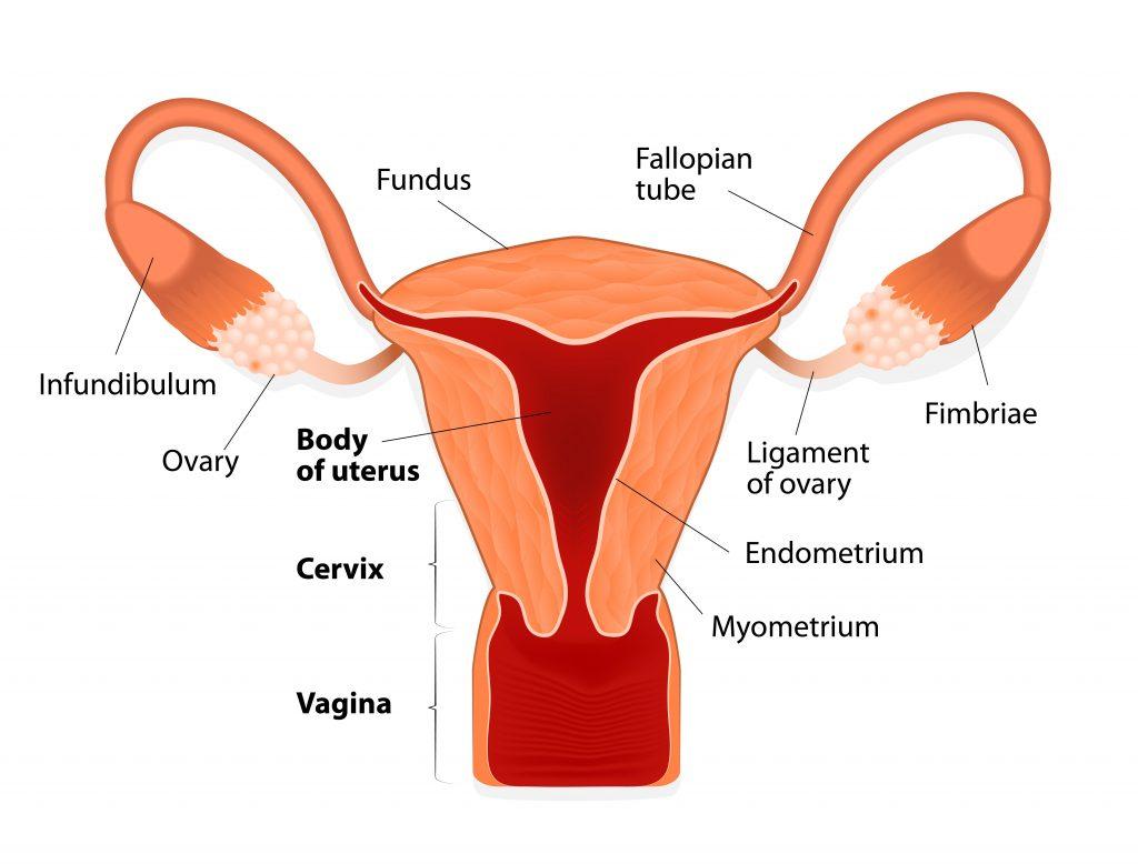 uterus structures